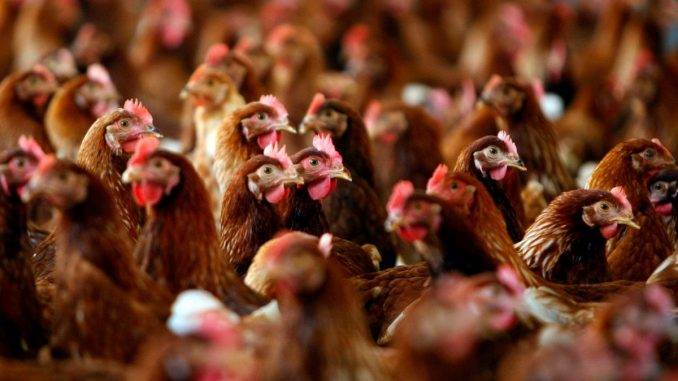 Ukraine's poultry producers on Chinese market
